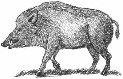 Boar Spot Illustration