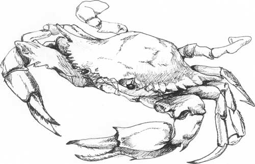 Crab Spot Illustration